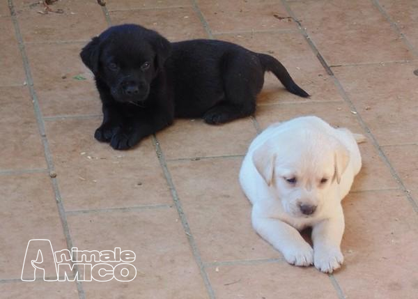 Vendita Labrador Da Privato A Ascoli Piceno Bellissima Cuccioli Di