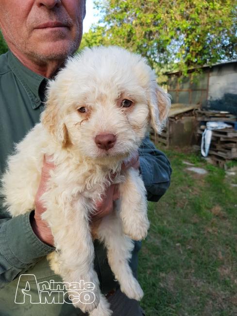 Vendita cucciolo da privato a cuccioli lagotto romagnolo for Cerco moto gratis in regalo