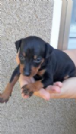 Regalo pinscher mini cuccioli da privato