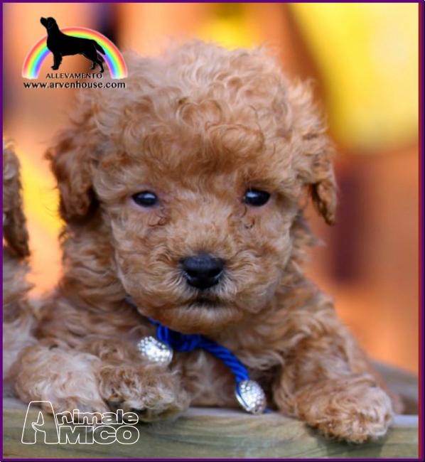Vendita cucciolo barboncino da privato a cani barboncino for Barboncino nano toy