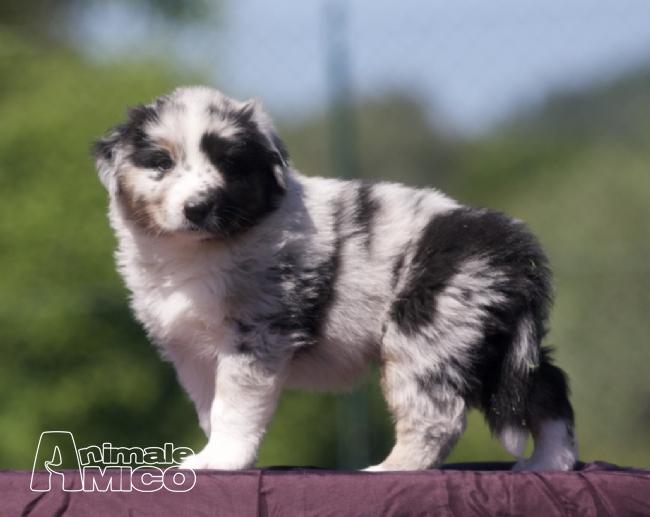 Vendita cucciolo australian shepherd da privato a fermo for Registrazione preliminare di vendita