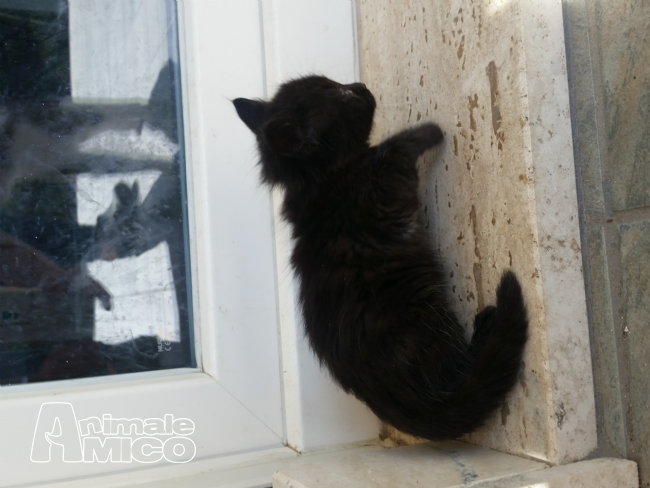 Regalo Cucciolo Da Privato A Rm Gattino Nero Pelo Lungo 28052017