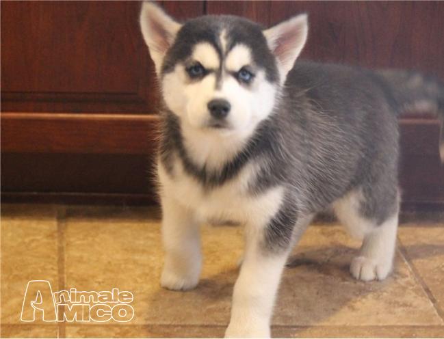 Vendita Husky Da Privato A Pordenone Registrati Cuccioli Di Razza