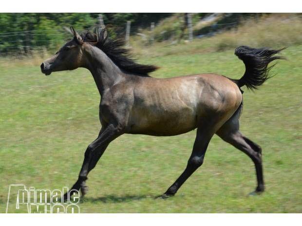 Vendita cucciolo arabo da privato a roma animali da for Cavalli in vendita in trentino