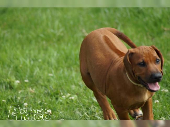 Vendita rhodesian ridgeback da privato a milano cani for Regalo offro gratis