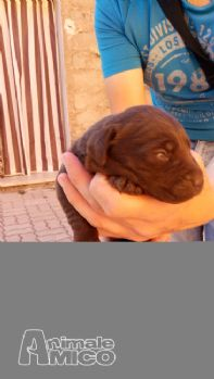 Vendita labrador retriever pedigree da privato