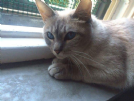 gatta adulta thai traditional siamese pregiata lynx blue point