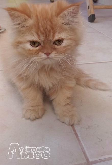 Vendita Cucciolo Persiano Da Privato A Bari Vendo Cucciolo Di Gatto