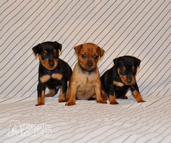 Vendita cucciolo pinscher da privato a cosenza cani for Pinscher nero