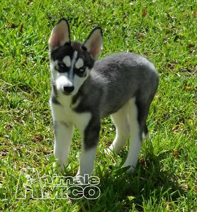 Vendita husky da privato a pisa cani husky in vendita - Husky con occhi diversi ...