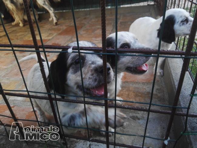 Vendita Cucciolo Setter Da Privato A Perugia Vendo Cuccioli Di