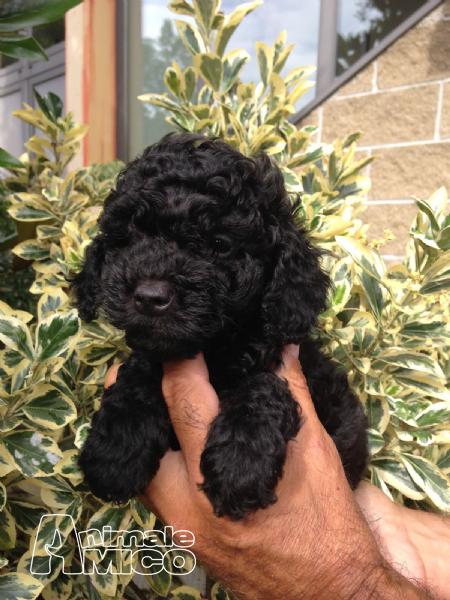 Vendita cucciolo barboncino da privato a como cani - Barboncino piccolo ...