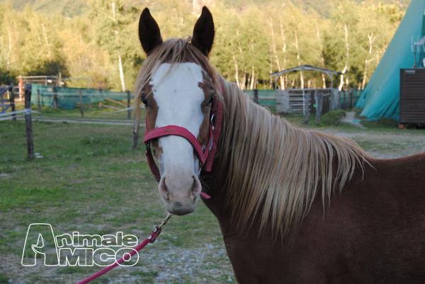 Vendita quarter horse da privato a verbano cusio ossola for Cavalli bolzano