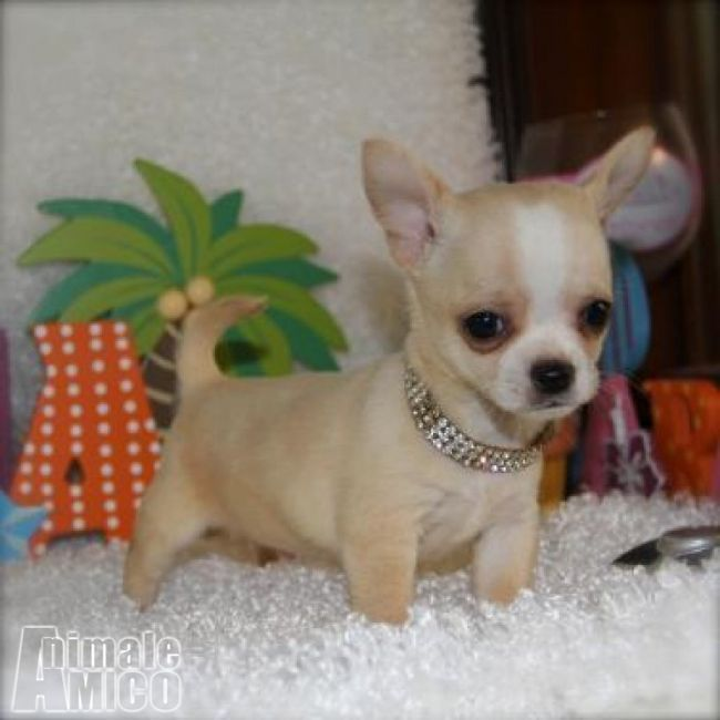Vendita chihuahua da privato a medio campidano cani for Regalo offro gratis