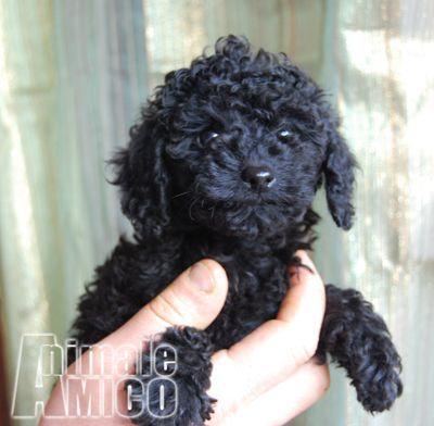 Vendita cucciolo barboncino da allevatore a roma for Barboncino nano toy