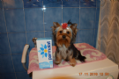 yorkshire terrier toy, pedigree