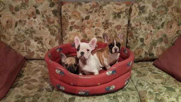 Vendita cucciolo bouledogue da privato a milano cani for Cerco divano in regalo milano
