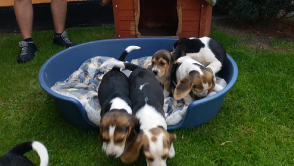 Aereo Privato Cani : Vendita cucciolo beagle da privato a milano cani