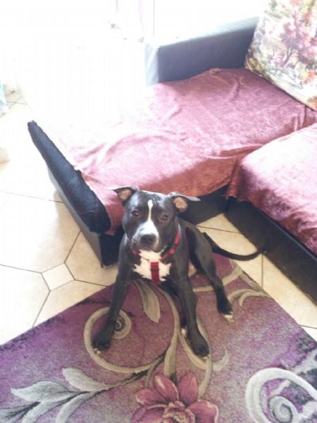 Regalo cucciolo staffordshire da privato a milano cani for Cerco divano in regalo milano