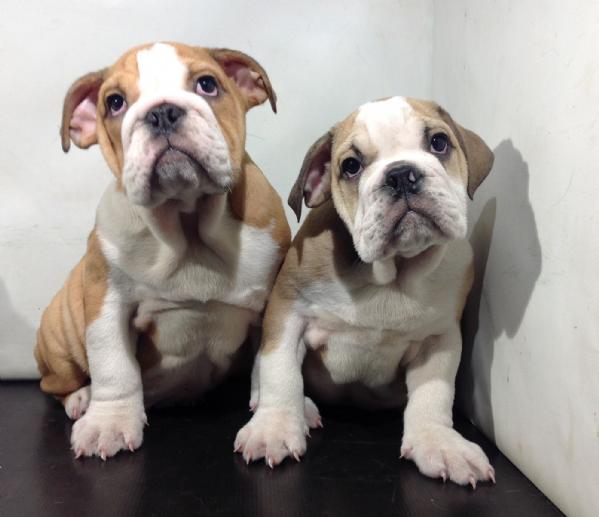 Vendita cucciolo bulldog da privato a milano cani bulldog for Bouledogue inglese
