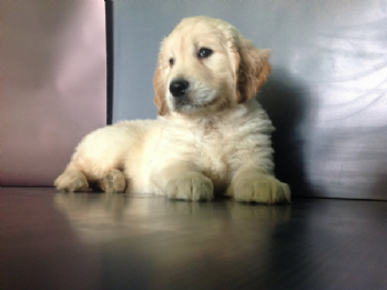 Vendita golden retriever da privato