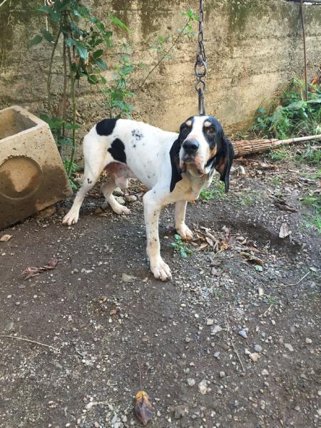 Vendita Segugio Da Privato A Catanzaro Cani Da Caccia 30102017