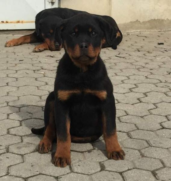 Vendita Cucciolo Rottweiler Da Privato A Asti Cuccioli Di Rottweiler