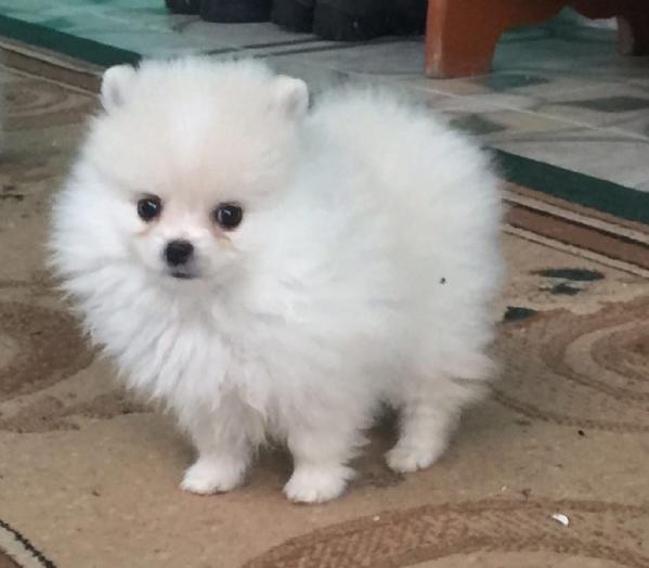 Vendita da privato a mi caniin vendita cucciola di for Volpino pomerania nano