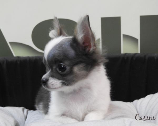Regalo cucciolo chihuahua da privato a biella cani for Regalo a chi