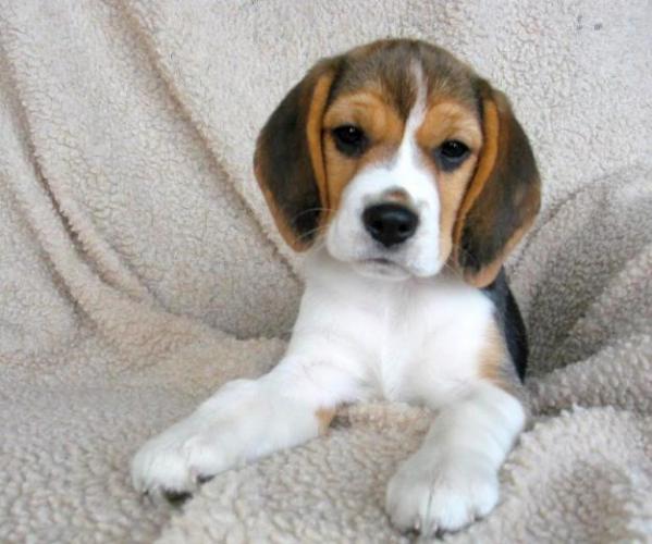 Cerco cucciolo beagle da privato a cani beagle in cerco for Cerco televisore in regalo
