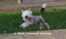 cuccioli chinese crested dog - cane nudo