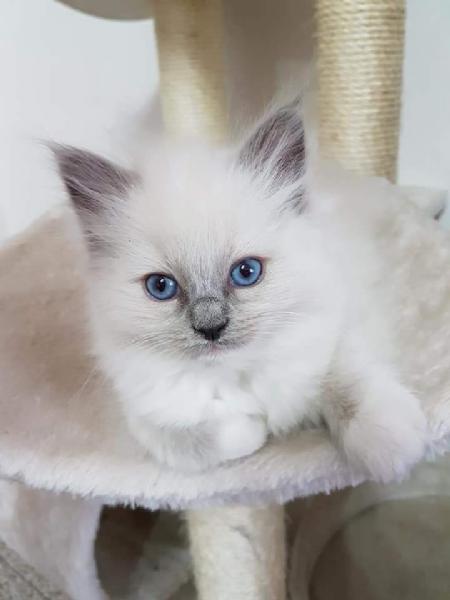 Cerco ragdoll da privato a nuoro gatti ragdoll in cerco for Cerco mobile in regalo