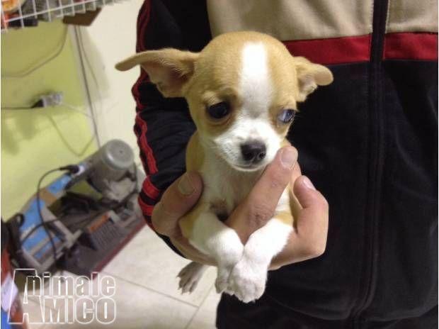 Vendita Chihuahua Da Privato A Roma, Cani Chihuahua In Vendita   Chihuahua  Toy Cucciolo Pelo Corto Del 28/02/2018