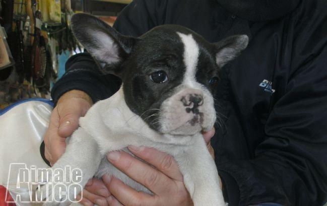Vendita cucciolo bulldog da privato a napoli bulldog for Cerco mobile in regalo