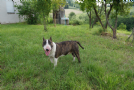 marvin - bull terrier maschio
