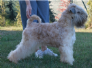 Vendita cuccioli irish soft coated wheaten terrier