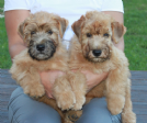 cuccioli irish soft coated wheaten terrier
