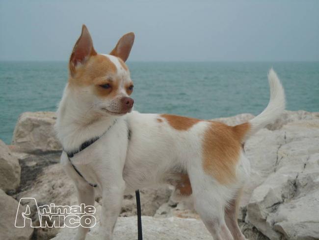Uta: Cercasi Dog sitter per guardare chiwawa amorevolissima