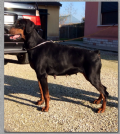 dobermann regalo