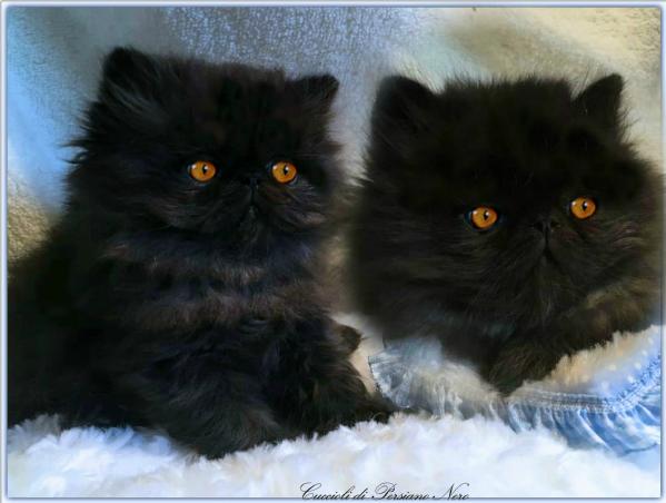 Sale Blu Di Persia Vendita : Vendita cucciolo persiano da privato a bari cucciolo di persiano nero