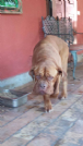 chris  dogue de bordeaux dolcissima