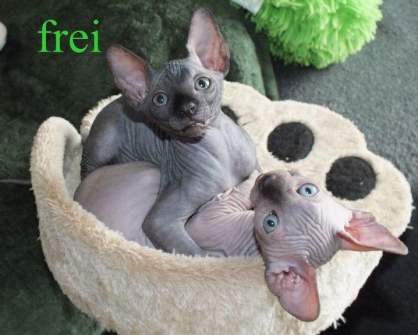 Regalo cucciolo sphynx da privato a milano gatti sphynx for Cerco camera da letto in regalo milano