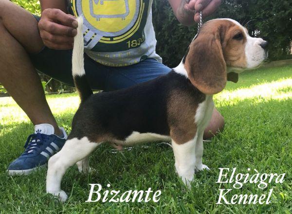 Vendita Cucciolo Beagle Da Privato A Cosenza Cuccioli Di Beagle 21