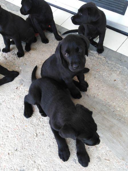Vendita Cucciolo Labrador Da Privato A Rimini Cuccioli Di Labrador