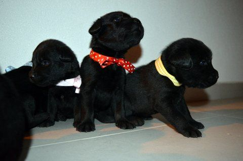 Vendita Cucciolo Labrador Da Privato A Cuccioli Di Labrador Retriver