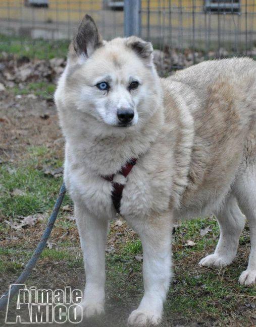 Offro in regalo husky da associazione animali a milano for Cerco divano in regalo milano