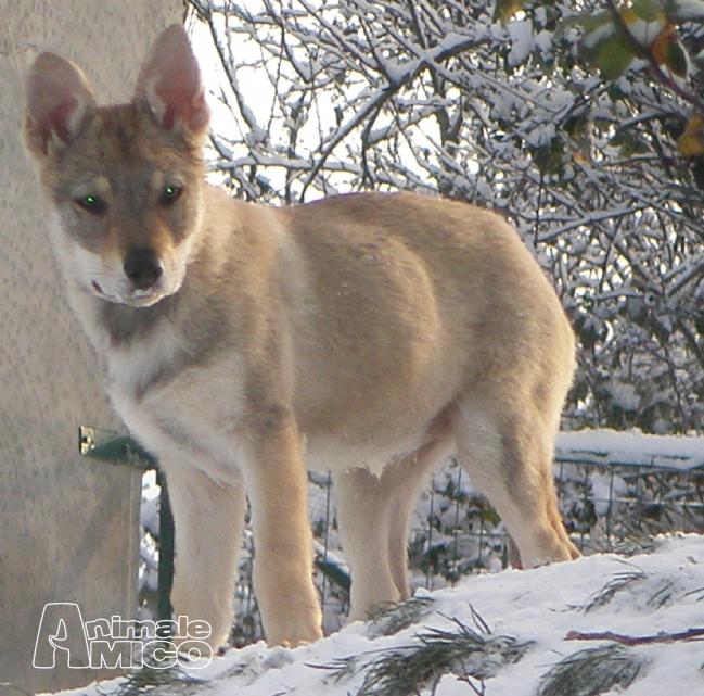 lupo cecoslovacco a Piacenza, Cani con pedigree lupo cecoslovacco