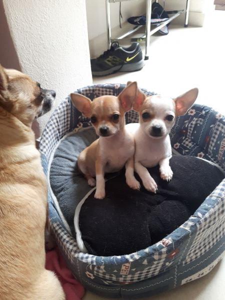 Annunci Chihuahua Regalo Cani Taglia Piccola In Vendita Cuccioli