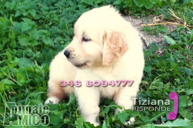 Cuccioli Golden Retriever Regalo Toscana Huevos Sorpresa De