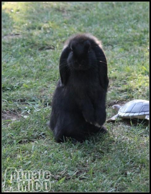 Cerco ariete nano da privato a milano cerco coniglio nano for Cerco divano in regalo milano